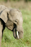 A Juvenile tusker grazing grass Royalty Free Stock Photography