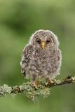 Juvenile Ural Owl. With forest background royalty free stock photo