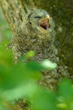 Juvenile ural owl yawns Royalty Free Stock Images