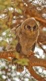 Juvenile Verreaux´s Eagle Owl Stock Image