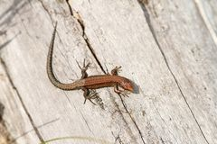 Juvenile viviparous lizard Stock Image