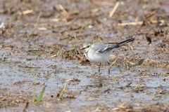 Juvenile wagtail. Juvenile white wagtail before autumn migration on a muddy coastal meadow in Estonia Royalty Free Stock Photo