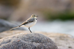 Juvenile wagtail. Standing on a rock Stock Photography