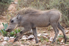 Juvenile warthog Royalty Free Stock Photo