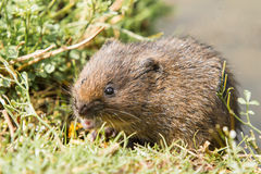 Juvenile Water Vole Royalty Free Stock Image