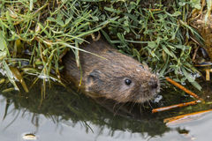 Juvenile Water Vole Stock Photo
