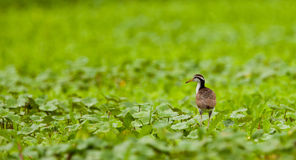 Juvenile Wattled Jacana Stock Photo