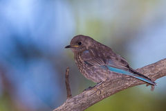 Juvenile Western Bluebird Royalty Free Stock Images