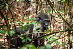 Juvenile Western lowland gorilla. Gorilla gorilla gorilla close up at a short distance. Republic of Congo. Africa Stock Image