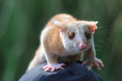 Western woolly opossum. The juvenile of western woolly opossum Royalty Free Stock Photo