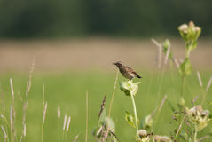 Juvenile whinchat. Young whinchat on a meadow in summer Stock Photos