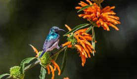 Juvenile White-bellied Sunbird. Sitting on Leonotis leonurus, also known as lion`s tail and wild dagga, is a plant species in the Lamiaceae family stock photography