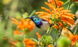 Juvenile White-bellied Sunbird. Sitting on Leonotis leonurus, also known as lion`s tail and wild dagga, is a plant species in the Lamiaceae family stock photos