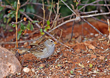 Juvenile White Crowned Sparrow Royalty Free Stock Image