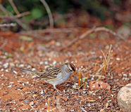 Juvenile White Crowned Sparrow Royalty Free Stock Images