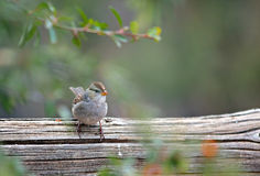 Juvenile White Crowned Sparrow Royalty Free Stock Photography