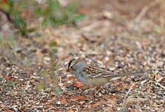 Juvenile White Crowned Sparrow Royalty Free Stock Photos