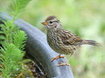 Juvenile White-crowned sparrow Royalty Free Stock Photos