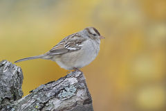 Juvenile White-crowned Sparrow Perched on a Branch Royalty Free Stock Image