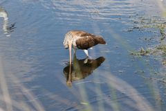 Juvenile white ibis Royalty Free Stock Image