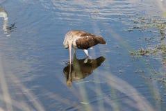 Juvenile white ibis. (Eudocimus albus)  wading in a salt marsh Royalty Free Stock Image