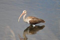 Juvenile white ibis. (Eudocimus albus)  wading in a salt marsh Stock Images