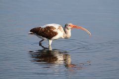 Juvenile White Ibis (Eudocimus albus) Royalty Free Stock Photo