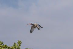 Juvenile White Ibis Flying, J.N. Ding Darling National Wildl Stock Image