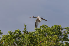 Juvenile White Ibis Flying, J.N. Ding Darling National Wildl Royalty Free Stock Images