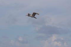 Juvenile White Ibis Flying, J.N. Ding Darling National Wildl. Juvenile White Ibis & x28;Eudocimus albus& x29; Flying, J.N. Ding Darling National Wildlife Refuge Stock Image
