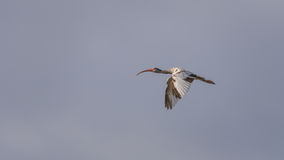 Juvenile White Ibis Flying, J.N. Ding Darling National Wildl Stock Photography