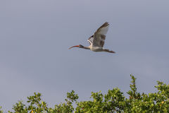Juvenile White Ibis Flying, J.N. Ding Darling National Wildl Stock Photo