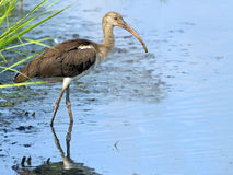 Juvenile White Ibis in Marsh Royalty Free Stock Images