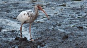 Juvenile White Ibis on muddy Gulf Coast. Juvenile white ibis strolls along muddy North Florida Gulf Coast Stock Images