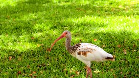 Juvenile White Ibis Royalty Free Stock Images