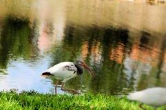 Juvenile white ibis. In South Florida Stock Image