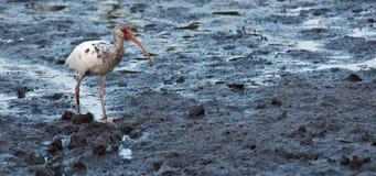 Juvenile White Ibis. Strolls along muddy Florida coast Royalty Free Stock Photos