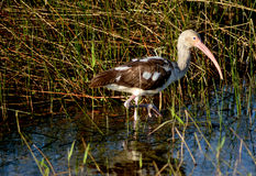 Juvenile White Ibis. This Juvenile White Ibis was hunting for food among the  Everglades grasses Stock Images