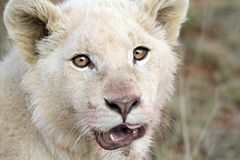 Juvenile white lion Stock Photography