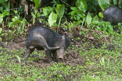 Juvenile White-lipped Peccary Stock Images