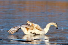 Juvenile white swan drifting on ice. Cygnus olor - juvenile white swan drifting on icy surface stock images