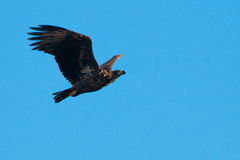 Juvenile White Tailed Eagle Royalty Free Stock Images
