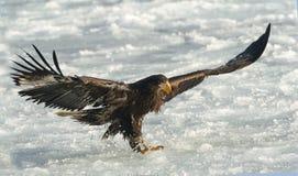 Juvenile White-tailed eagle landed. stock photo