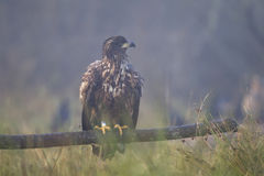 Juvenile white-tailed eagle Royalty Free Stock Image