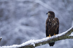 Juvenile white-tailed eagle Royalty Free Stock Photos