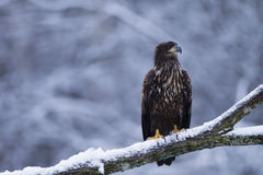 Juvenile white-tailed eagle Royalty Free Stock Images