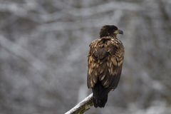 Juvenile white-tailed eagle Royalty Free Stock Photography