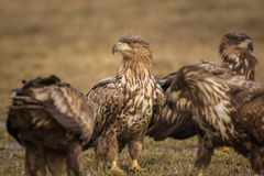Juvenile white-tailed eagles Royalty Free Stock Photos