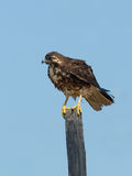 Juvenile White-tailed Hawk Stock Photos