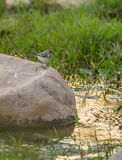 Juvenile White Wagtail on rock Stock Photo